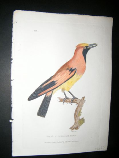 Shaw C1800's Antique Hand Col Bird Print. Orange Paradise Bird